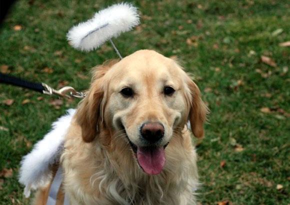 angel dog golden retriever in costume