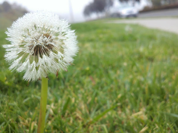 pic of the week photograph 365 project dandelion with dew drops in fog