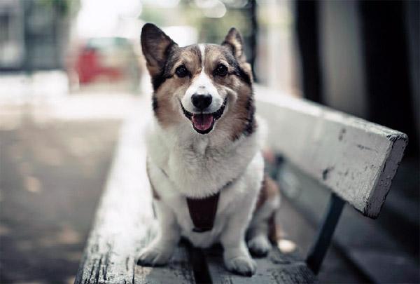 Happy corgi dog on bench