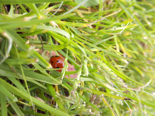 Photography 365 project picture a day ladybug in grass