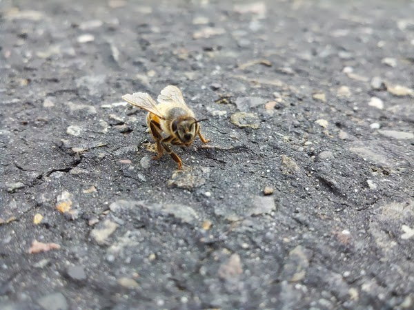 photograph 365 project picture a day photo macro bee in street