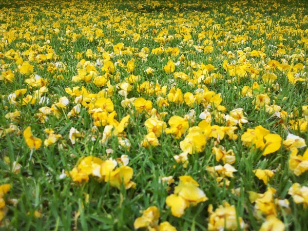 Photograph 365 project picture a day yellow tree flower petals on grass