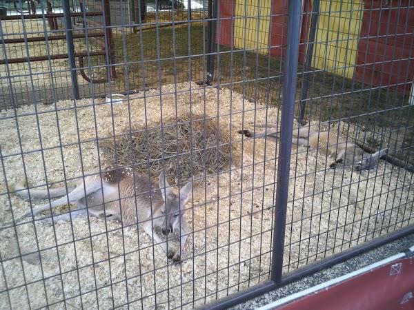 red kangaroos at county fair