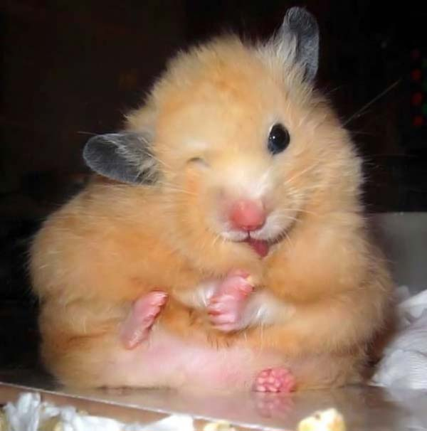 cute hamster derp