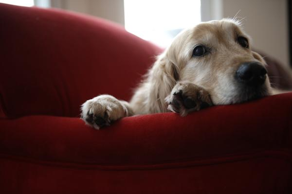 cute bored dog on red couch