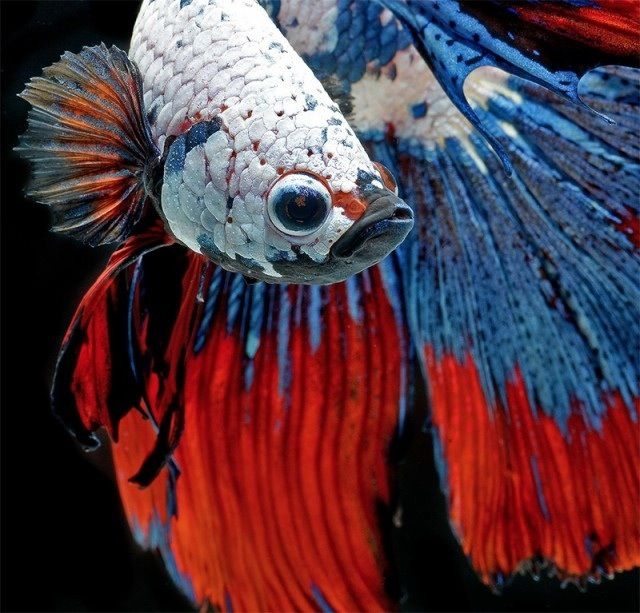 Patriotic red white and blue fish