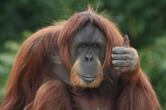 Orangutan thumbs up