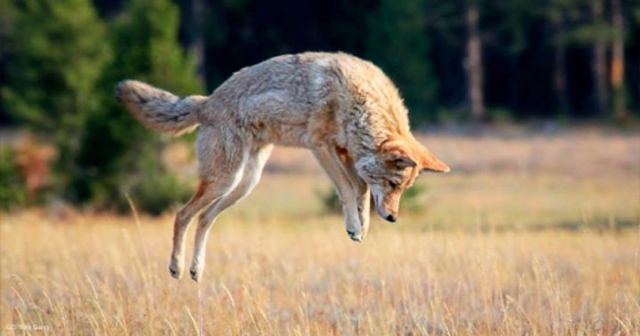 coyote pounce jump hop in field